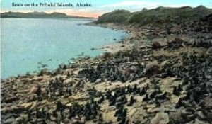 Seals on Pribilof Islands, Alaska, Vintage Postcard